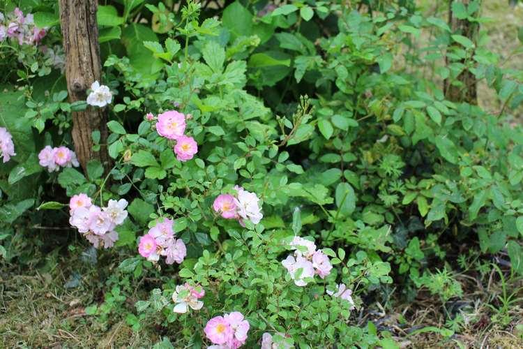 Rosa 'Cornélia' !!! - Page 3 21052011