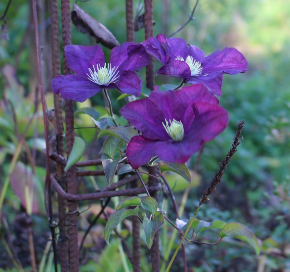 Clematis -2020- - Page 3 21102010