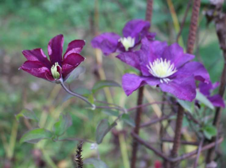 Clematis -2020- - Page 3 21102013