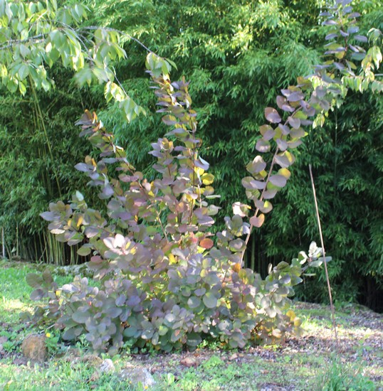 Cotinus coggygria !!! - Page 2 21102019