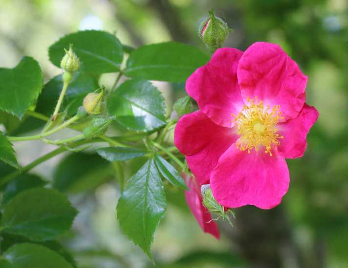 Rosa 'American Pillar' !!! - Page 3 22052023