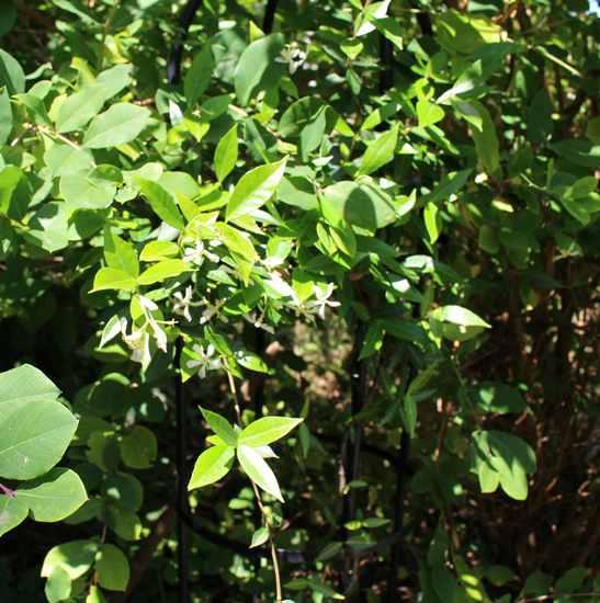 Trachelospermum jasminoides 'Wilsonii' !!! 23062018