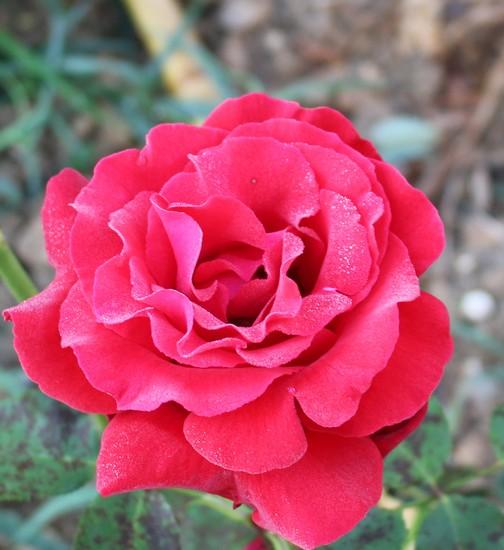 Rosa 'Jacques Prévert'! 23062019