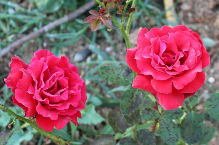 Rosa 'Jacques Prévert'! 23062021