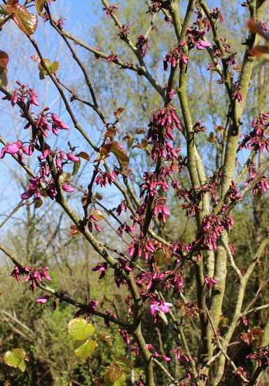 arbre de Judée........... Cercis siliquastrum - Page 3 24032010