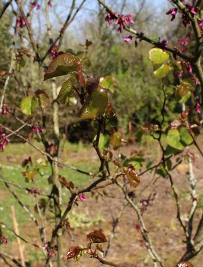 arbre de Judée........... Cercis siliquastrum - Page 3 24032012
