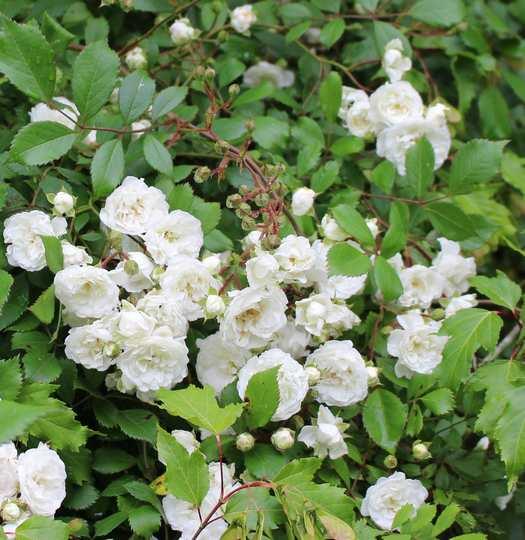 Rosa 'Little White Pet' !!! - Page 3 24052017