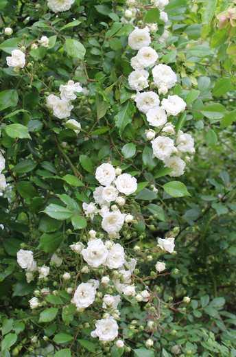Rosa 'Little White Pet' !!! - Page 3 24052020