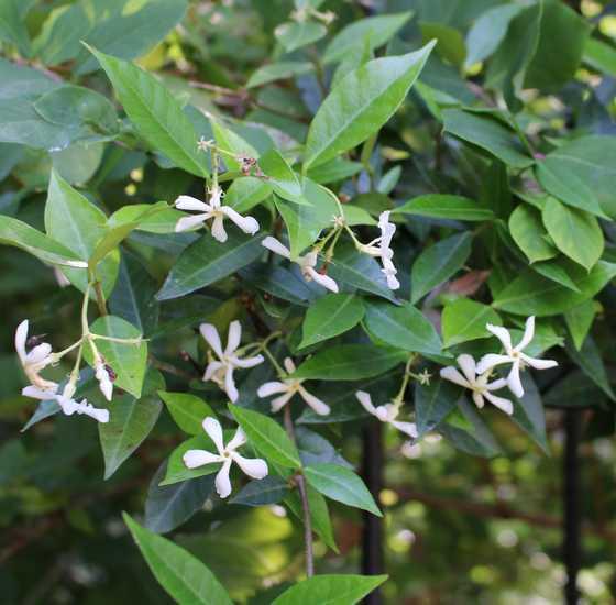 Trachelospermum jasminoides 'Wilsonii' !!! 24062010