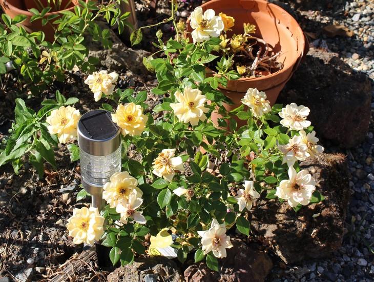 Rosa 'Amber Nectar'   25072032