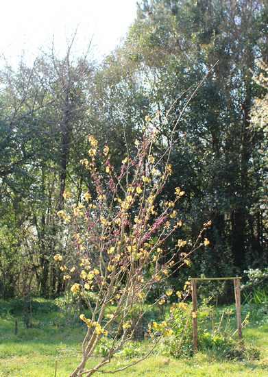 arbre de Judée........... Cercis siliquastrum - Page 3 26032012