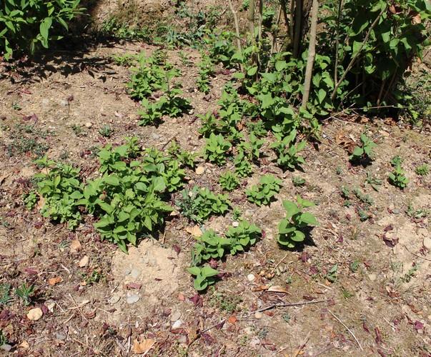 Syringa vulgaris ! 26072022