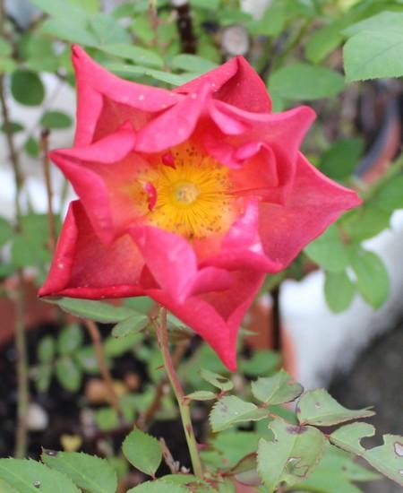 rosa cinco de mayo - Page 2 26102010