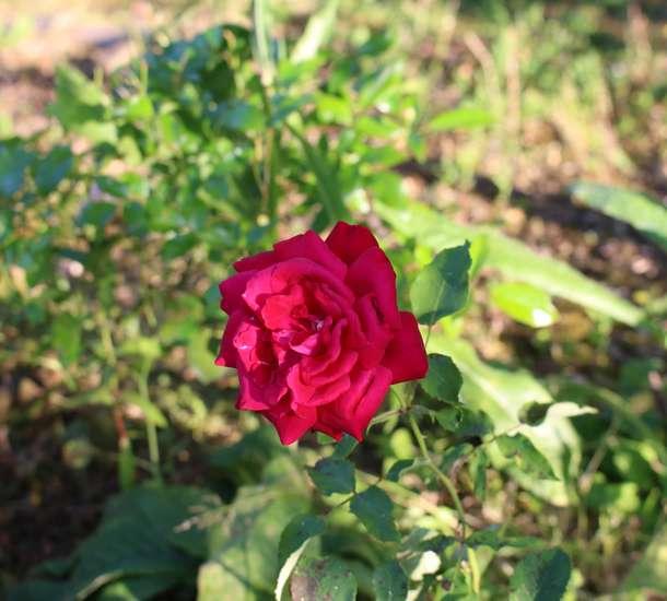 Rosa ' Poema'  ! 28052019