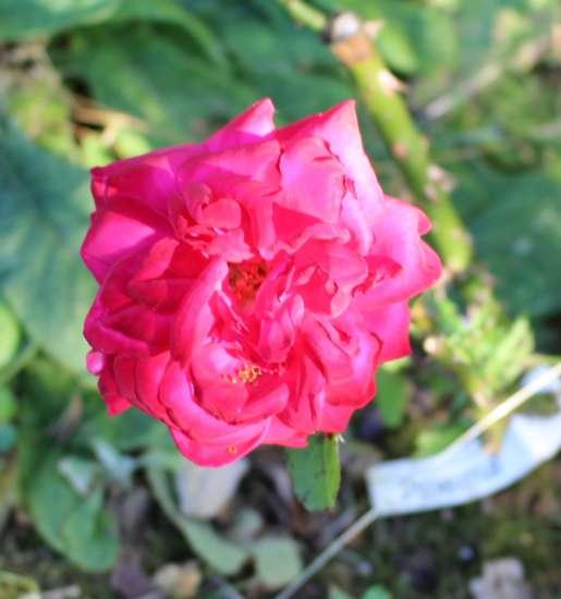 Rosa ' Poema'  ! 28052029