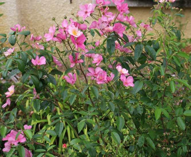 rosa éclat de rire - Page 6 29062015