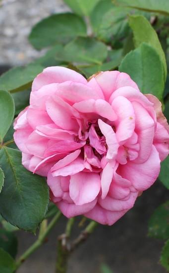 Rosa 'Souvenir de Baden Baden' 29082013