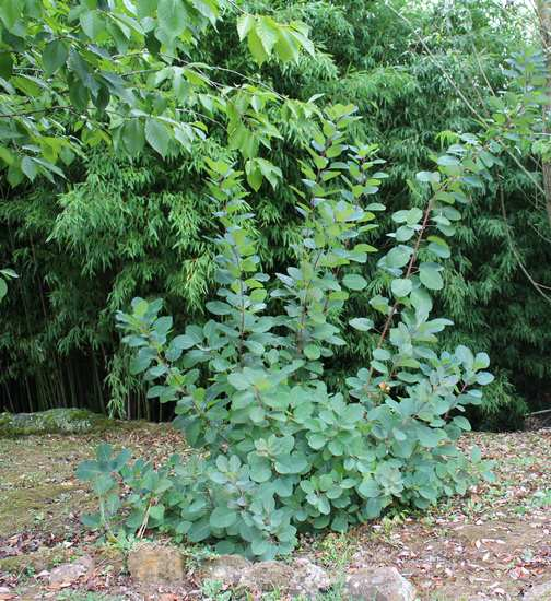 Cotinus coggygria !!! - Page 2 29082022