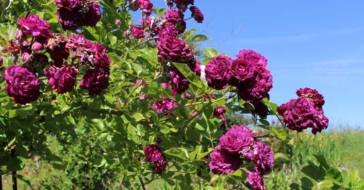 Rosa 'Blue Magenta'  - Page 5 30052011