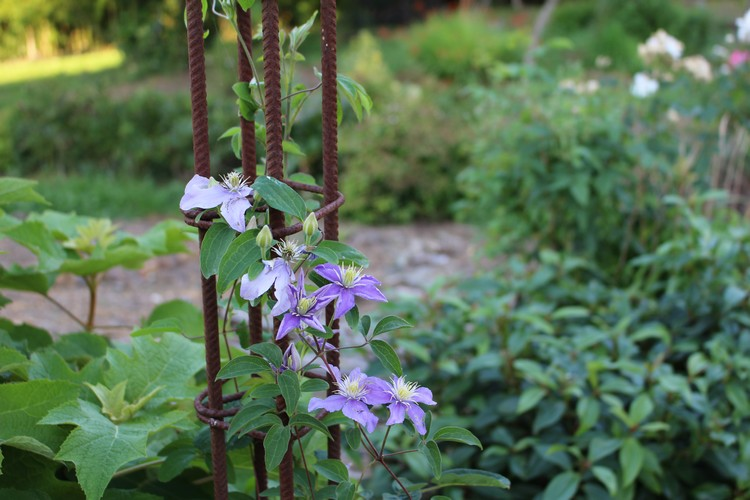 Clematis -2020- - Page 3 30062018