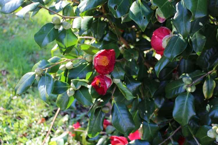 Camellia !!! 31012013
