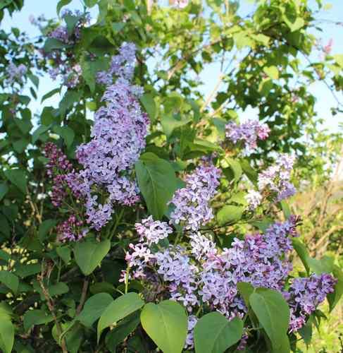 Syringa vulgaris ! 31032014