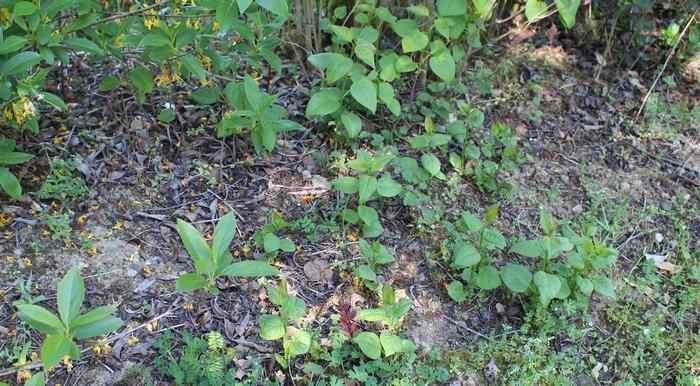 Syringa vulgaris ! 31032015