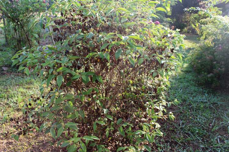 Viburnum plicatum 'Watanabe' !!! - Page 5 31072015