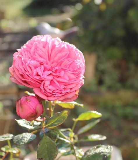 Rosa 'Souvenir de Baden Baden' 31102025