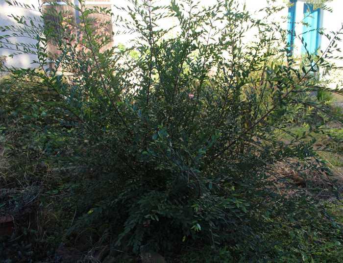 Un autre arbuste  /// Ulmus!!  Argelo28
