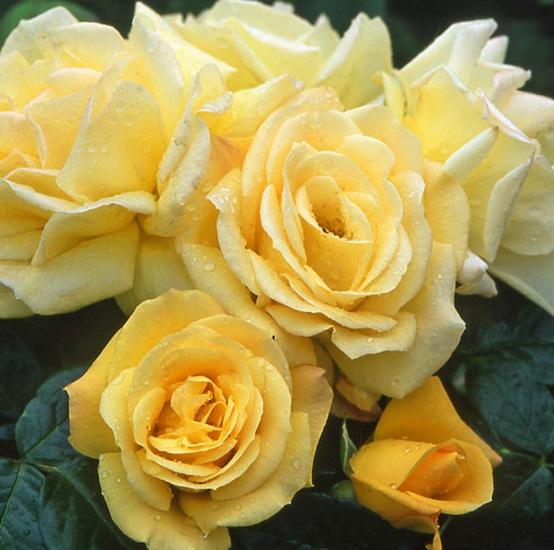 Rosa 'Arthur Bell' ! Arthur10