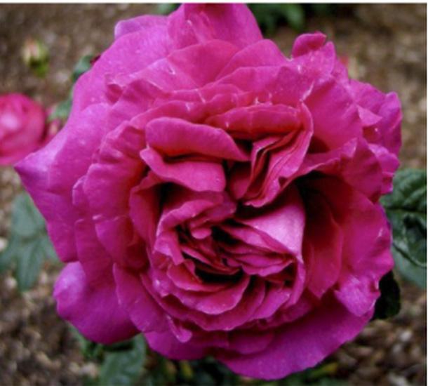 Rosa ' Chartreuse de Parme' Cdeo2_10