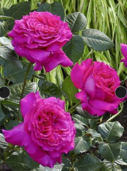 Rosa ' Chartreuse de Parme' Cdep1_10