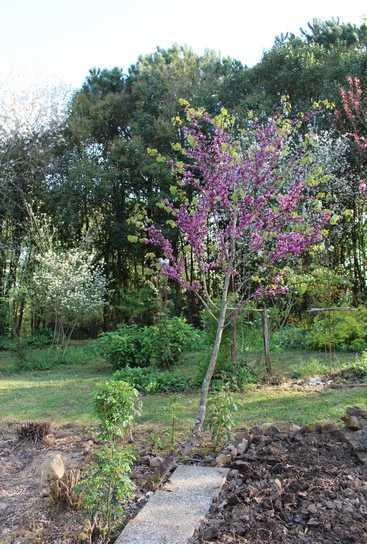 arbre de Judée........... Cercis siliquastrum - Page 4 Cer10