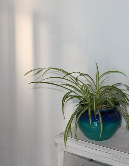 Chlorophytum !!! Chlo10