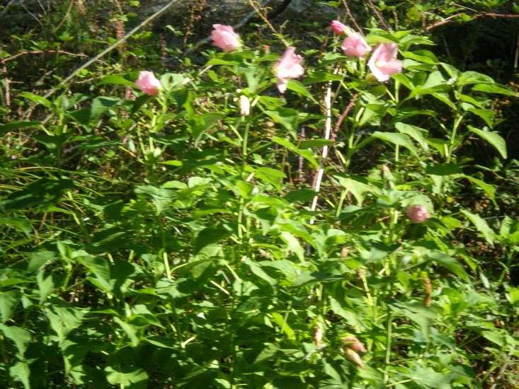 Hibiscus des Marais ou Moscheutos *** Copie_14
