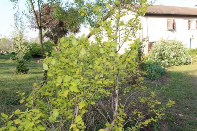 Physocarpus Dart's Gold !!! - Page 2 Copie_84