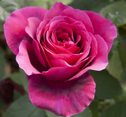 Rosa 'Charlotte Rampling' Cr_bmp10