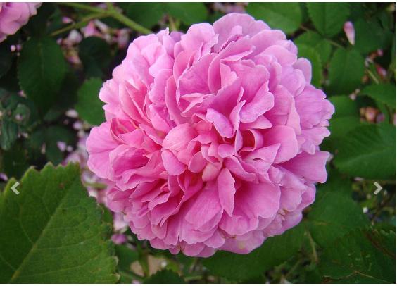 Rosa 'Duchesse du Berry' ! Db_bmp11