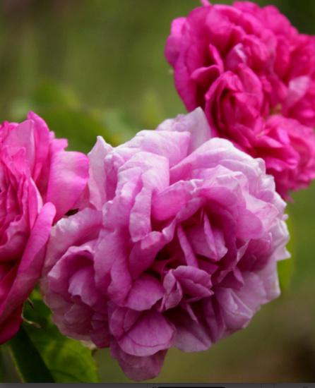 Rosa 'De la Grifferaie' Dlg2_b10