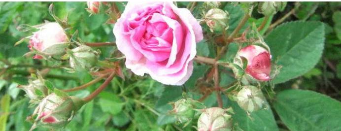Rosa 'De la Grifferaie' Dlg3_b10