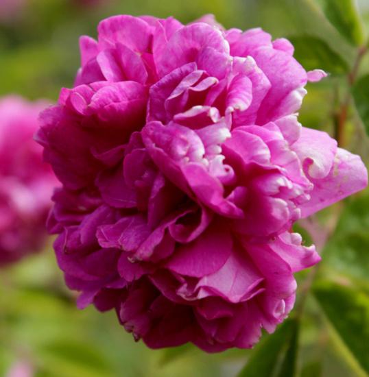 Rosa 'De la Grifferaie' Dlg_1_10