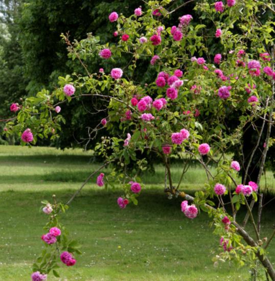 Rosa 'De la Grifferaie' Dlg_bm10