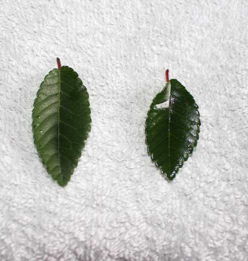 Un autre arbuste  /// Ulmus!!  Feuill10