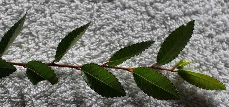 Un autre arbuste  /// Ulmus!!  Feuill11