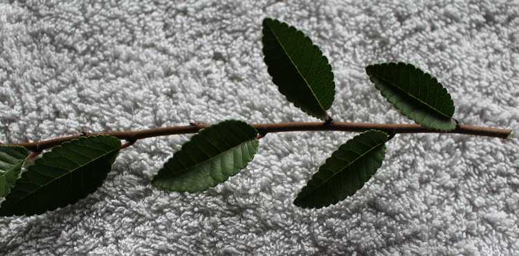 Un autre arbuste  /// Ulmus!!  Feuill12