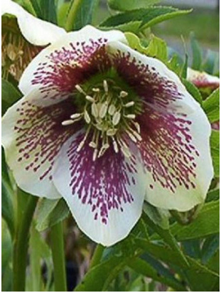Helleborus orientalis 'Spotted Hybrids' H3_bmp10