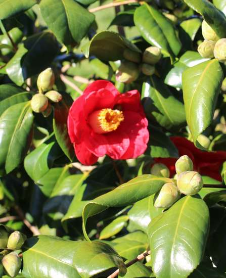 Camellia !!! - Page 2 Img_3121