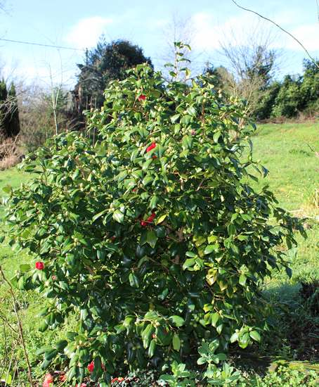 Camellia !!! - Page 2 Img_3122