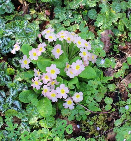 Primula..........aimez-vous les coucous ??? - Page 4 Img_3144